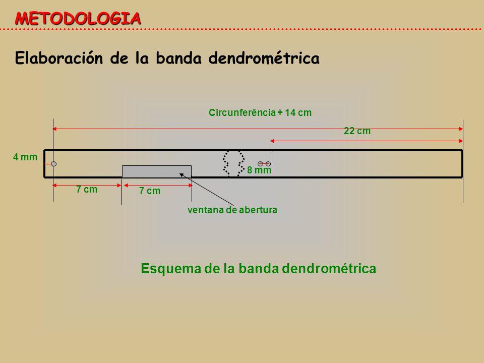 Elaboración de la banda dendrométrica METODOLOGIA 4 mm Circunferência + 14 cm 7 cm 22 cm 8 mm ventana de abertura Esquema de la banda dendrométrica