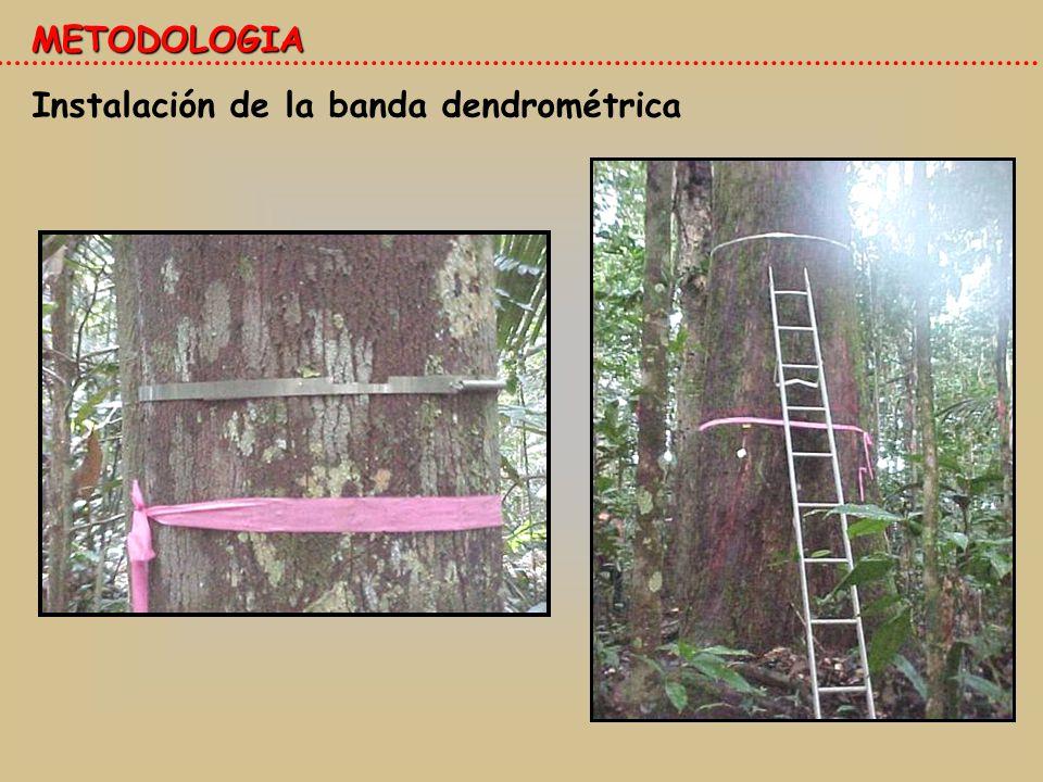 Instalación de la banda dendrométrica METODOLOGIA