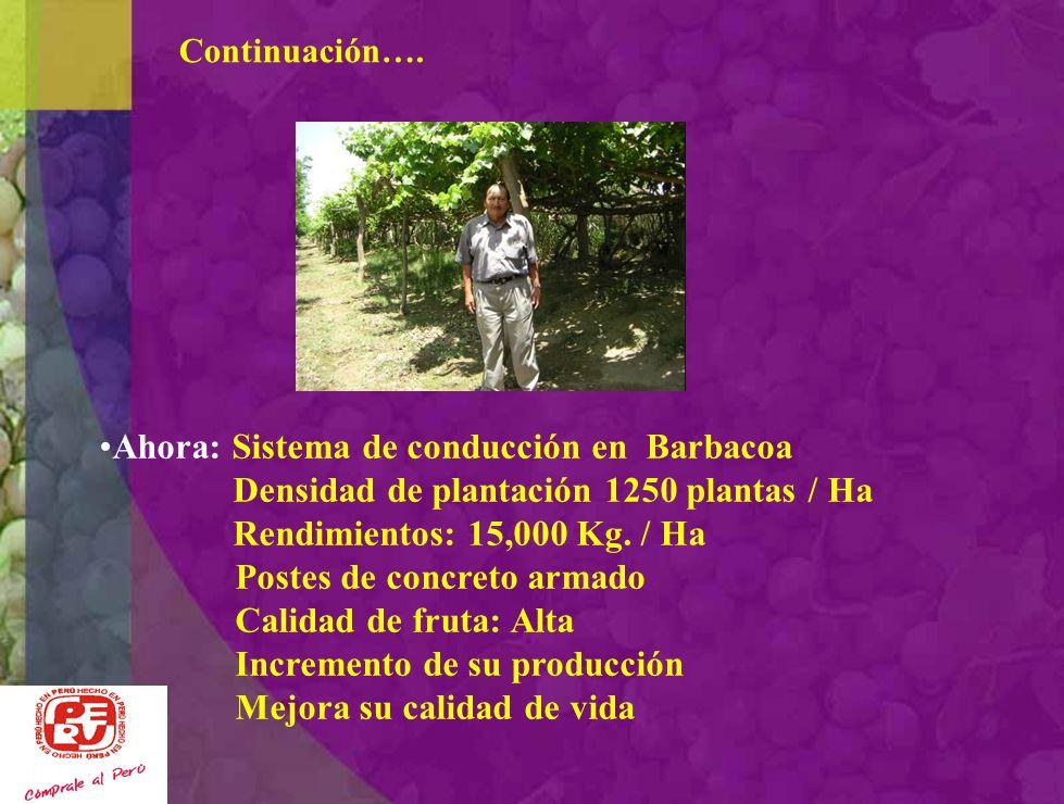 Continuación…. Antes: Sistema de conducción en Galera Iqueña Densidad de plantación 1660 plantas / Ha Rendimientos: 8,000 Kg. / Ha Postes de eucalipto