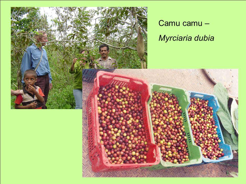 Camu camu – Myrciaria dubia