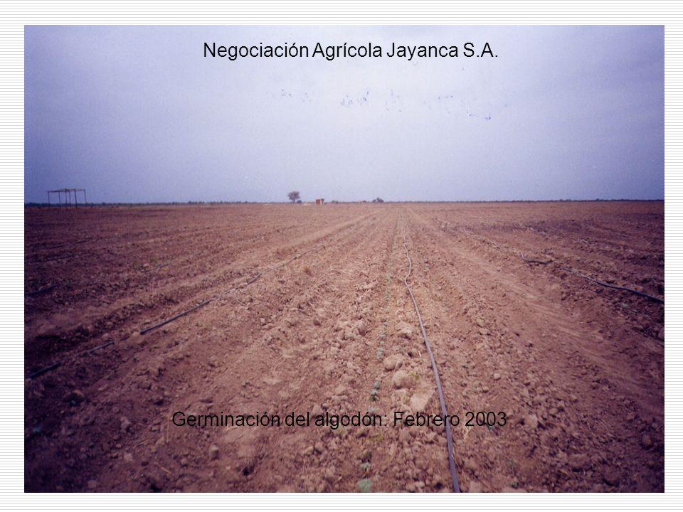 Germinación del algodón: Febrero 2003 Negociación Agrícola Jayanca S.A.