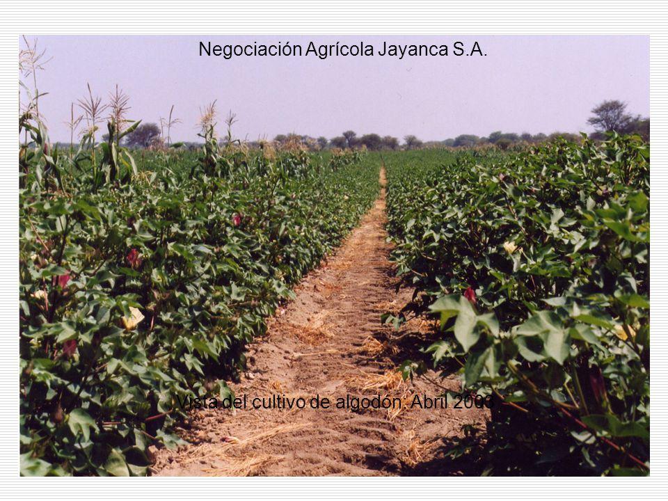 Vista del cultivo de algodón: Abril 2003 Negociación Agrícola Jayanca S.A.