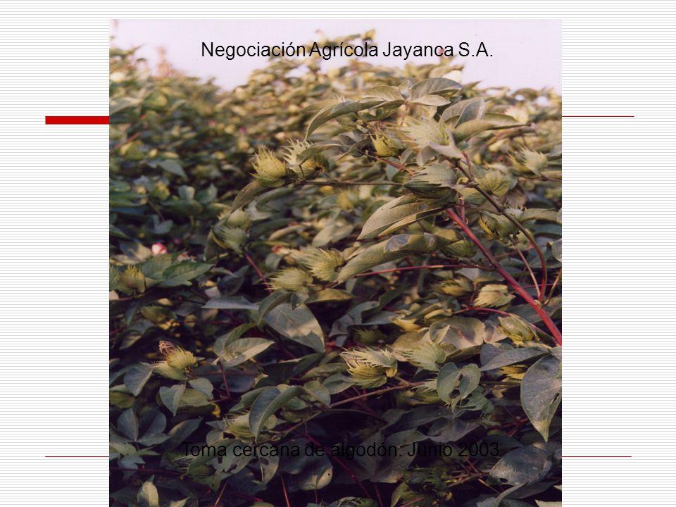 Toma cercana de algodón: Junio 2003 Negociación Agrícola Jayanca S.A.