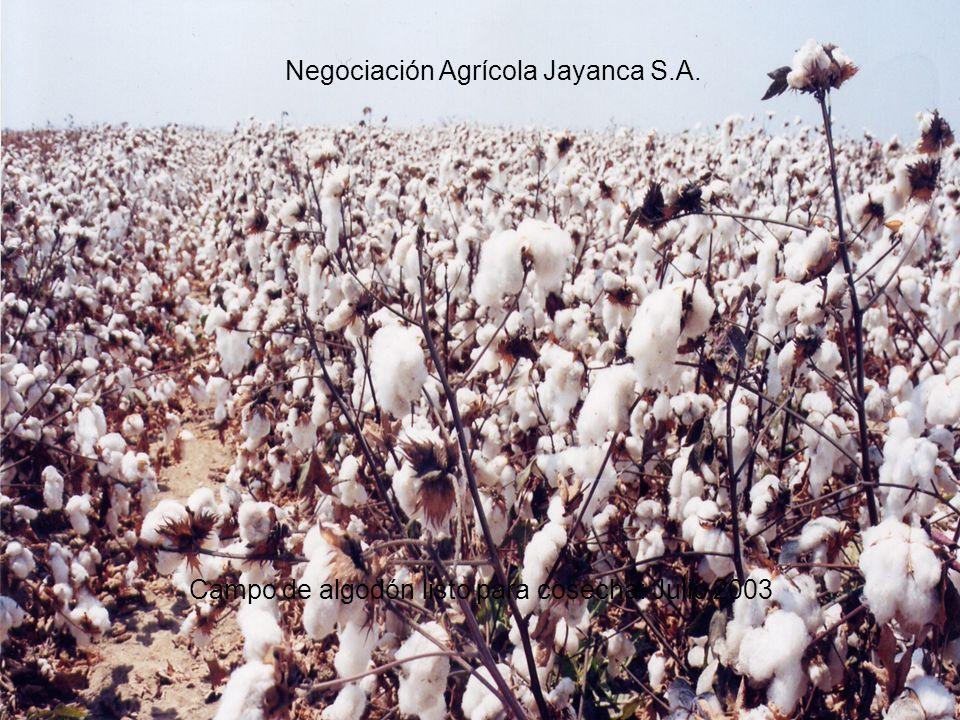 Campo de algodón listo para cosecha: Julio 2003 Negociación Agrícola Jayanca S.A.