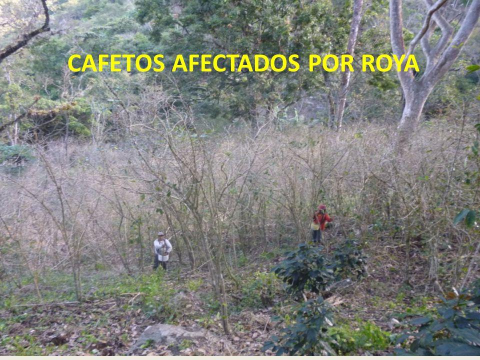 CAFETOS AFECTADOS POR ROYA