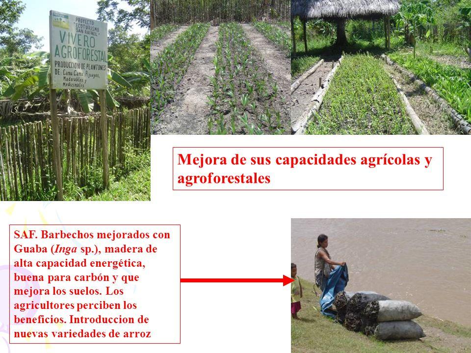 SAF. Barbechos mejorados con Guaba (Inga sp.), madera de alta capacidad energética, buena para carbón y que mejora los suelos. Los agricultores percib