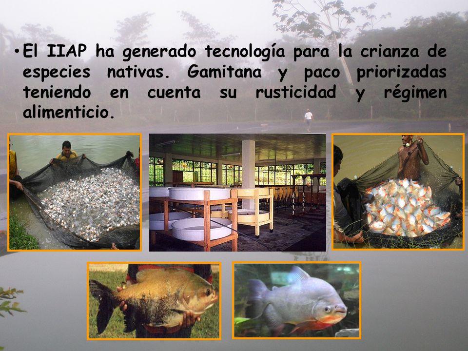 El IIAP ha generado tecnología para la crianza de especies nativas. Gamitana y paco priorizadas teniendo en cuenta su rusticidad y régimen alimenticio