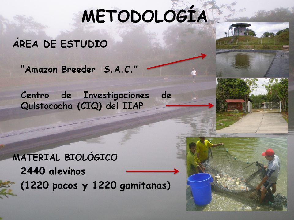 METODOLOGÍA ÁREA DE ESTUDIO Amazon Breeder S.A.C. Centro de Investigaciones de Quistococha (CIQ) del IIAP MATERIAL BIOLÓGICO 2440 alevinos (1220 pacos