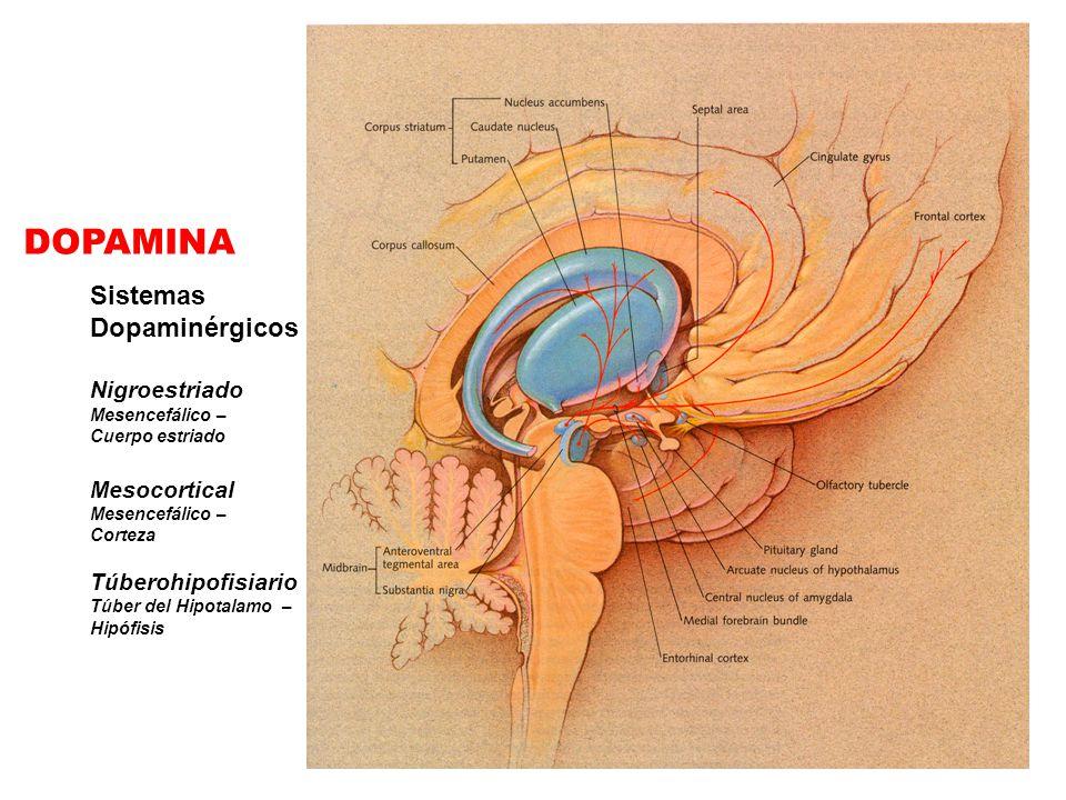 Sistemas Dopaminérgicos Nigroestriado Mesencefálico – Cuerpo estriado Mesocortical Mesencefálico – Corteza Túberohipofisiario Túber del Hipotalamo – H
