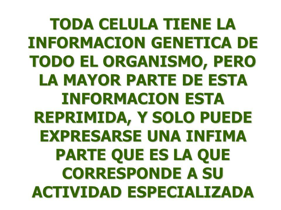 TODA CELULA TIENE LA INFORMACION GENETICA DE TODO EL ORGANISMO, PERO LA MAYOR PARTE DE ESTA INFORMACION ESTA REPRIMIDA, Y SOLO PUEDE EXPRESARSE UNA IN