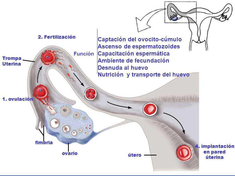 ovario 2. Fertilización Trompa Uterina 1. ovulación 4. implantación en pared úterina útero fimbria Función Captación del ovocito-cúmulo Ascenso de esp