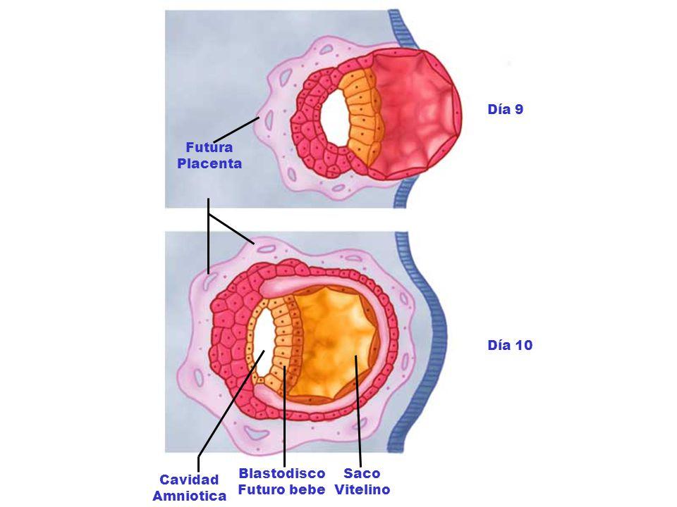 Día 9 Día 10 Futura Placenta Cavidad Amniotica Blastodisco Futuro bebe Saco Vitelino