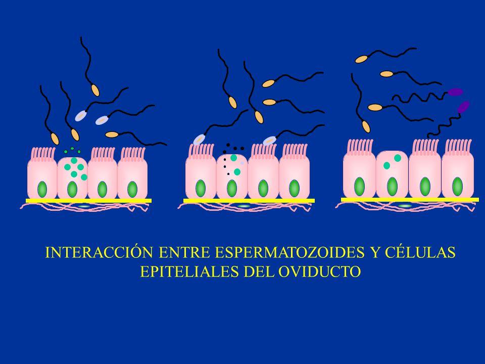 INTERACCIÓN ENTRE ESPERMATOZOIDES Y CÉLULAS EPITELIALES DEL OVIDUCTO
