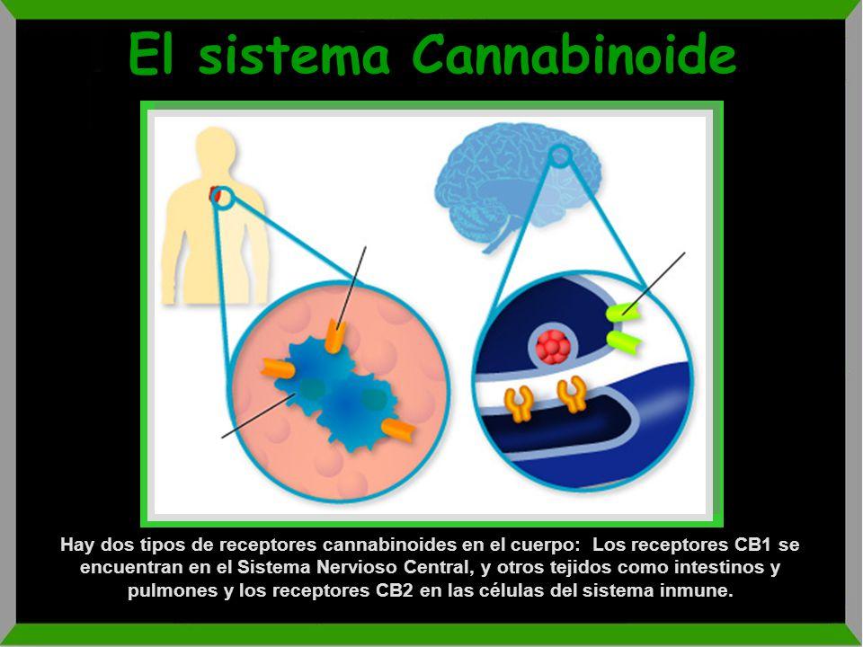 TCH (-)-trans-9- tetrahidrocannabinol (THC) De 0.5 a 5% en Cannabis 10 a 28% en Hachís (resina gomosa de las flores de las plantas hembras) Existen va