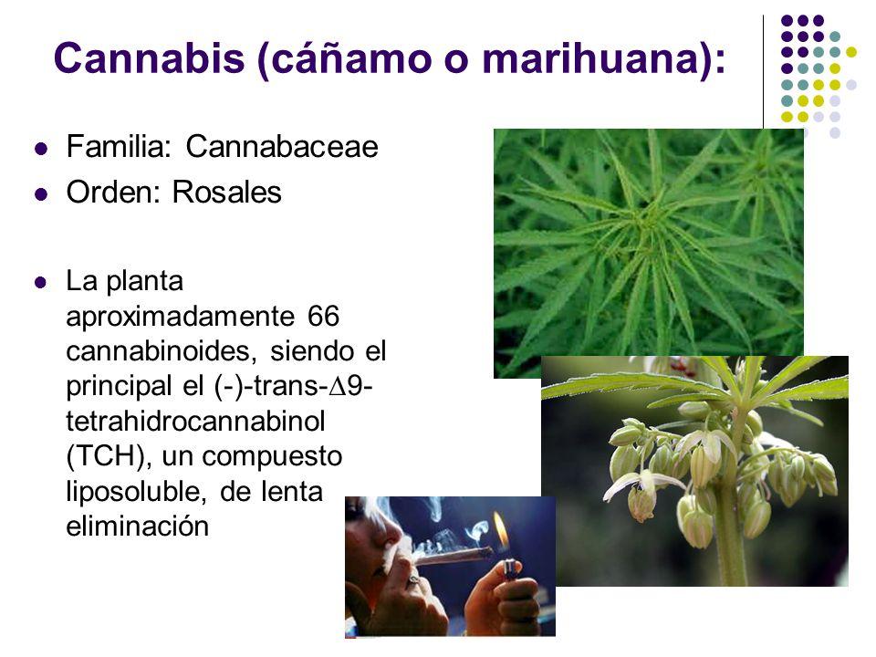 Mitos y falacias en el uso de la marihuana Falacia verde : las drogas naturales son menos dañinas que las sintéticas La marihuana es una droga suave F