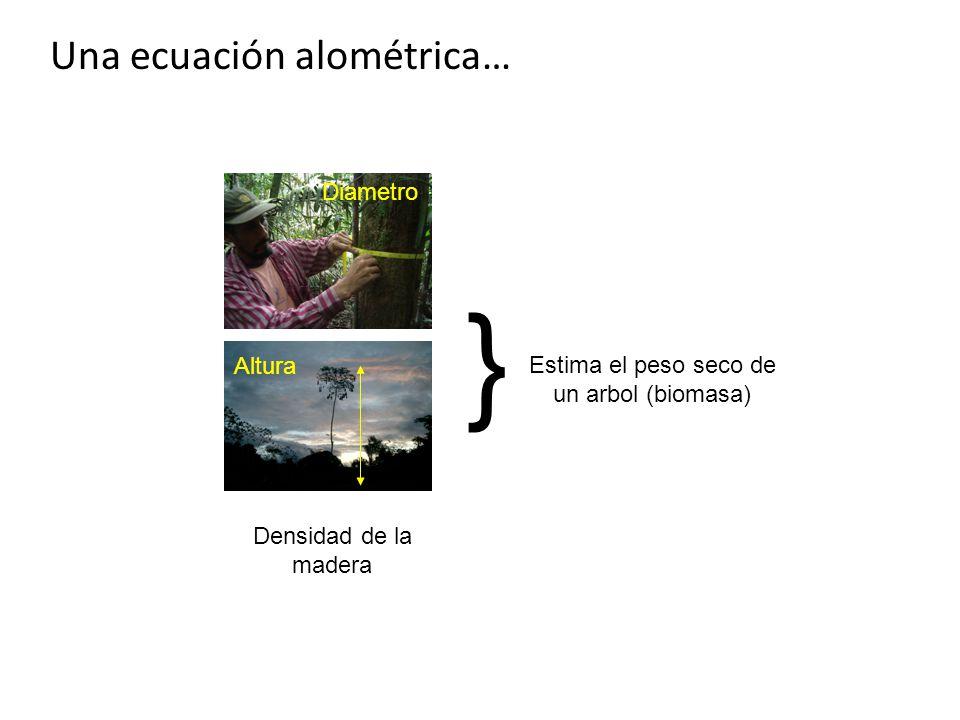 Una ecuación alométrica… Altura Diametro Densidad de la madera } Estima el peso seco de un arbol (biomasa)