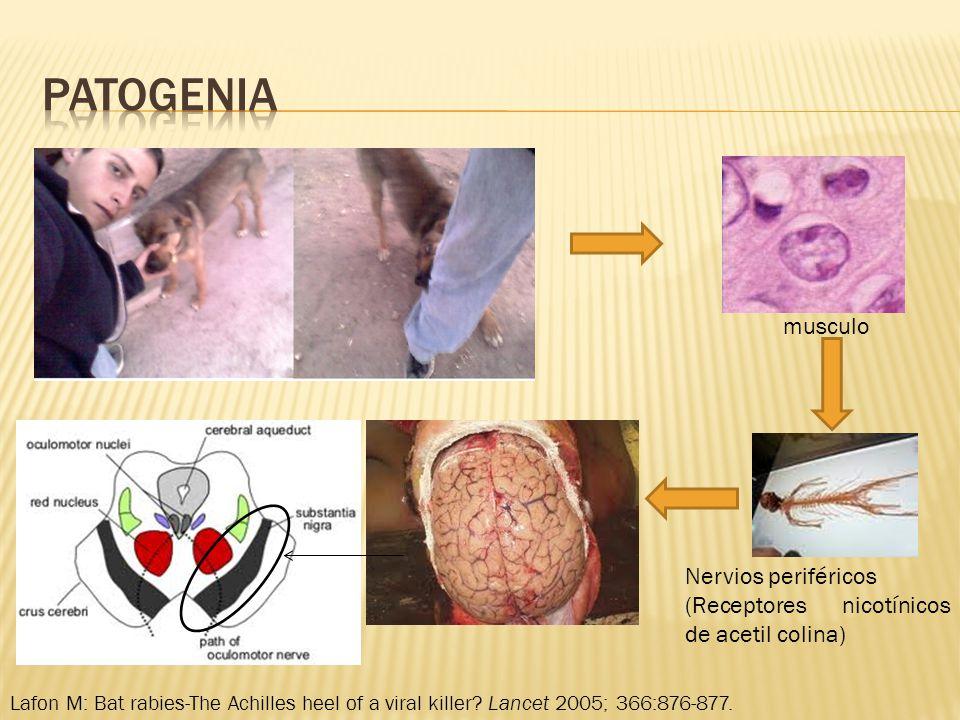 musculo Nervios periféricos (Receptores nicotínicos de acetil colina) Lafon M: Bat rabies-The Achilles heel of a viral killer? Lancet 2005; 366:876-87