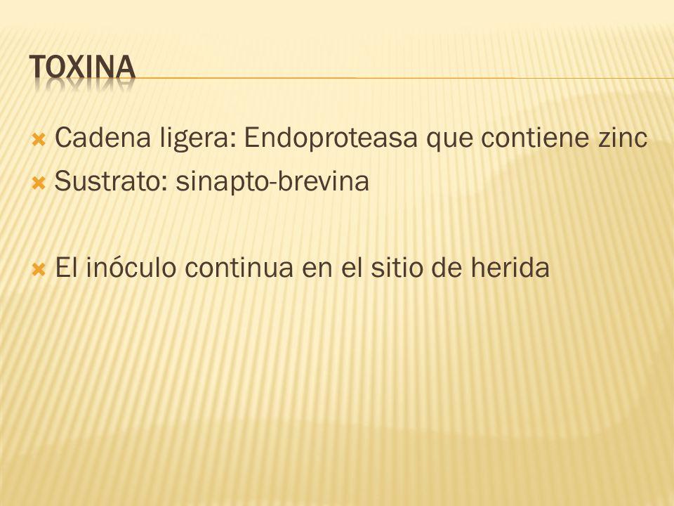 Cadena ligera: Endoproteasa que contiene zinc Sustrato: sinapto-brevina El inóculo continua en el sitio de herida