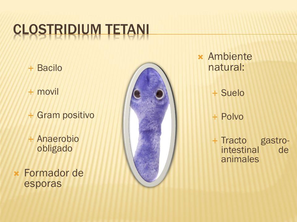 Bacilo movil Gram positivo Anaerobio obligado Formador de esporas Ambiente natural: Suelo Polvo Tracto gastro- intestinal de animales