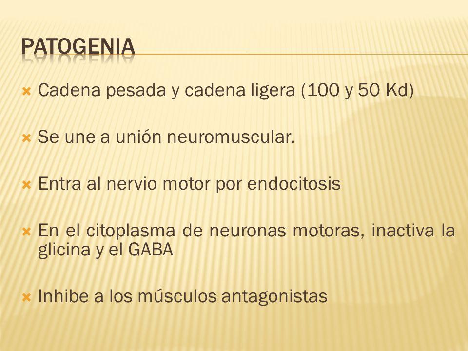 Cadena pesada y cadena ligera (100 y 50 Kd) Se une a unión neuromuscular. Entra al nervio motor por endocitosis En el citoplasma de neuronas motoras,