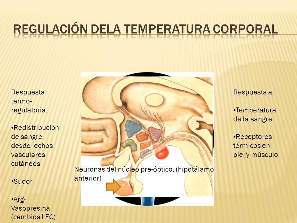 Respuesta a: Temperatura de la sangre Receptores térmicos en piel y músculo Respuesta termo- regulatoria: Redistribución de sangre desde lechos vascul