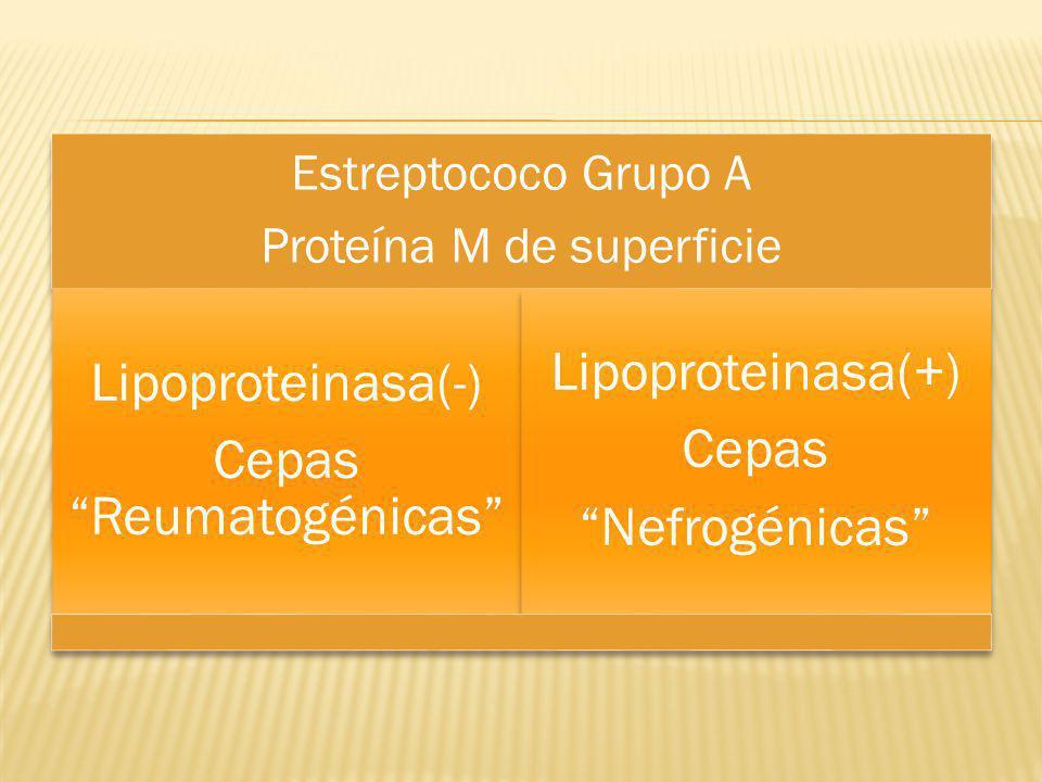 Estreptococo Grupo A Proteína M de superficie Lipoproteinasa(-) Cepas Reumatogénicas Lipoproteinasa(+) Cepas Nefrogénicas