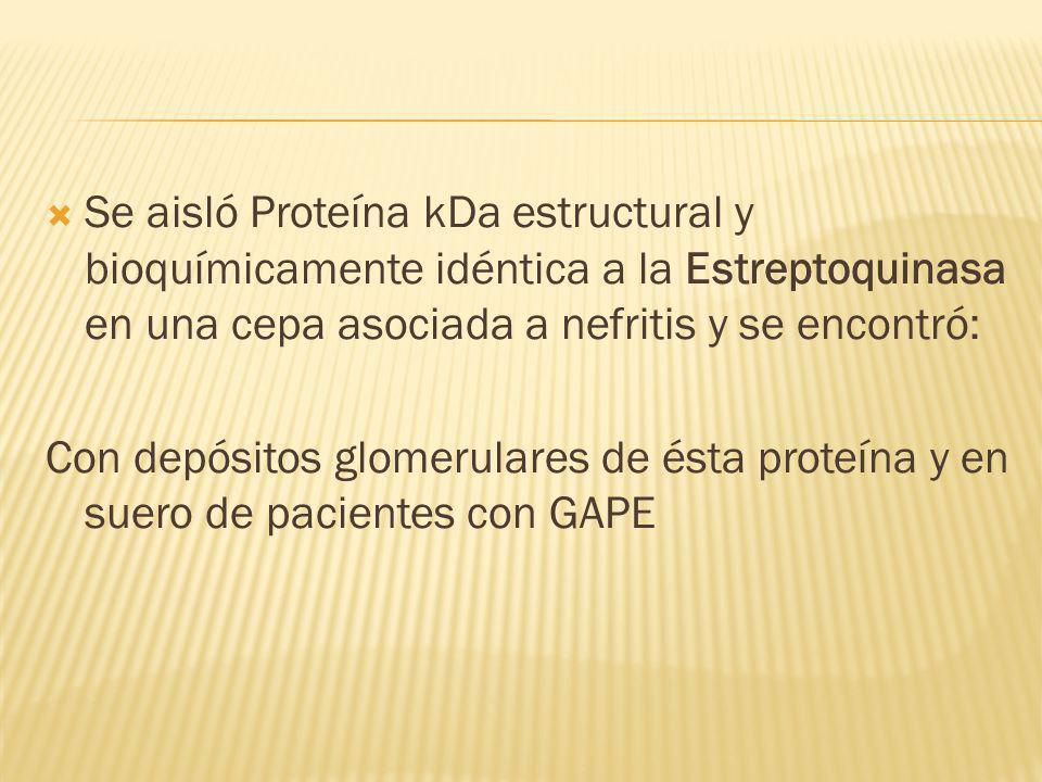 Se aisló Proteína kDa estructural y bioquímicamente idéntica a la Estreptoquinasa en una cepa asociada a nefritis y se encontró: Con depósitos glomeru
