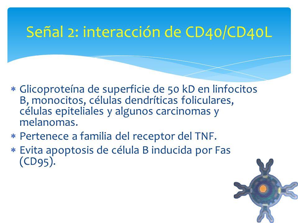 CD40: Glicoproteína de superficie de 50 kD en linfocitos B, monocitos, células dendríticas foliculares, células epiteliales y algunos carcinomas y mel