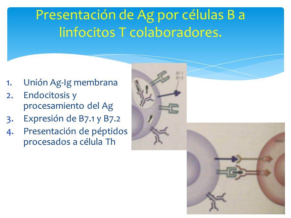 Presentación de Ag por células B a linfocitos T colaboradores. 1.Unión Ag-Ig membrana 2.Endocitosis y procesamiento del Ag 3.Expresión de B7.1 y B7.2