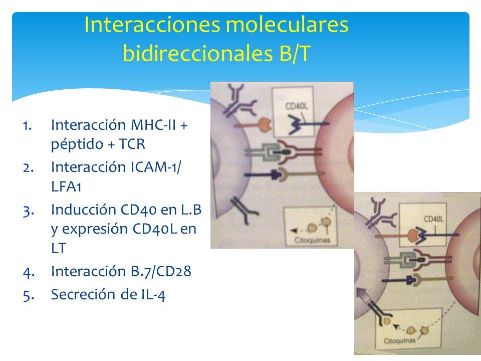 Interacciones moleculares bidireccionales B/T 1.Interacción MHC-II + péptido + TCR 2.Interacción ICAM-1/ LFA1 3.Inducción CD40 en L.B y expresión CD40