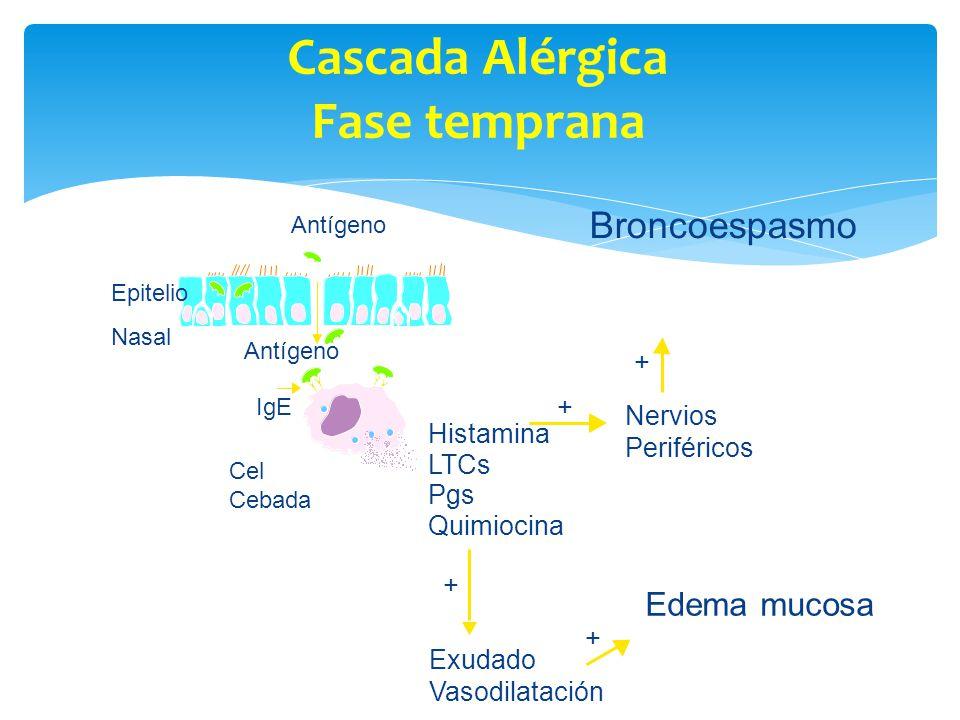 Cascada Alérgica Fase temprana Antígeno IgE Exudado Vasodilatación + + Nervios Periféricos Histamina LTCs Pgs Quimiocina Broncoespasmo Antígeno Epitel
