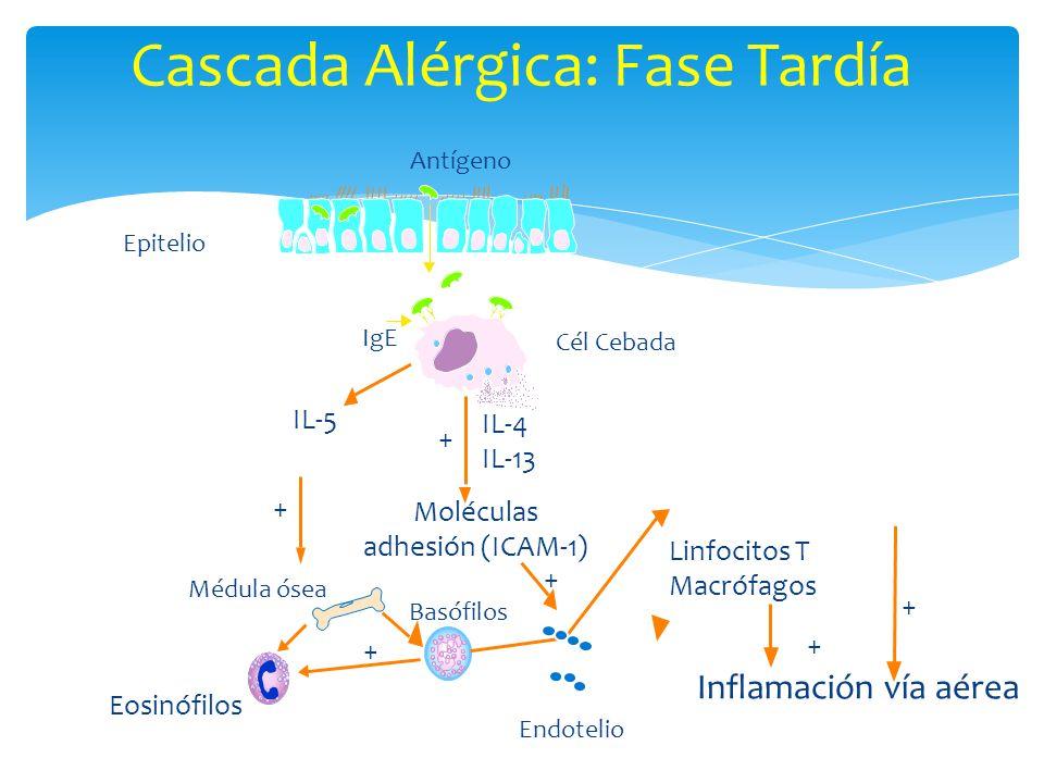 Cascada Alérgica: Fase Tardía Antígeno IgE Médula ósea Moléculas adhesión (ICAM-1) IL-4 IL-13 IL-5 Eosinófilos Endotelio Basófilos Linfocitos T Macróf