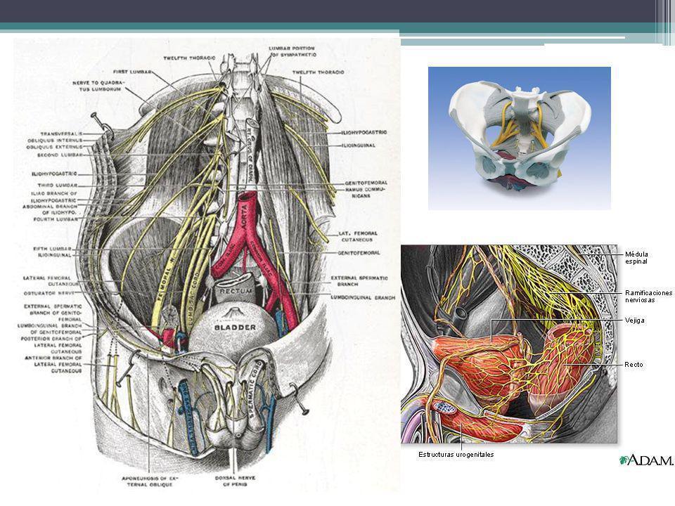 Dolor Pélvico Agudo Aparición rápida Inestabilidad signos vitales Intenso caracterizado por un debut repentino, un incremento pronunciado y una corta duración Debut rápido ----- isquemia o de la perforación de una víscera hueca Tipo cólico ------- asocia con espasmos musculares u obstrucción de una víscera hueca Dolor generalizado ------ liquido irritante dentro cavidad