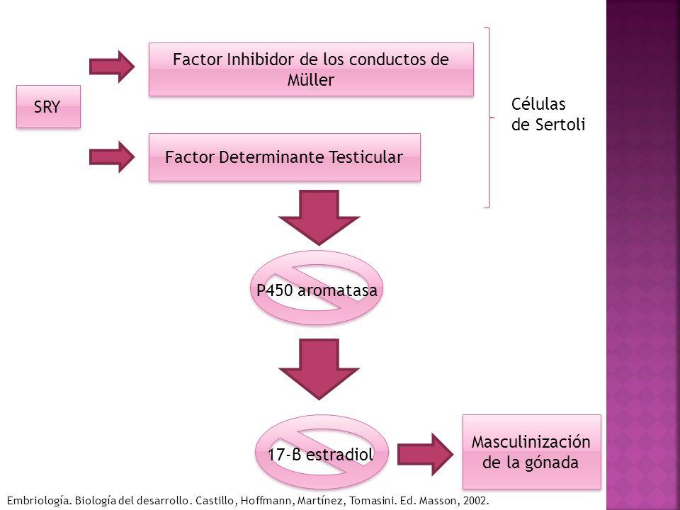 SRY Factor Inhibidor de los conductos de Müller Factor Determinante Testicular Células de Sertoli P450 aromatasa 17-β estradiol Masculinización de la