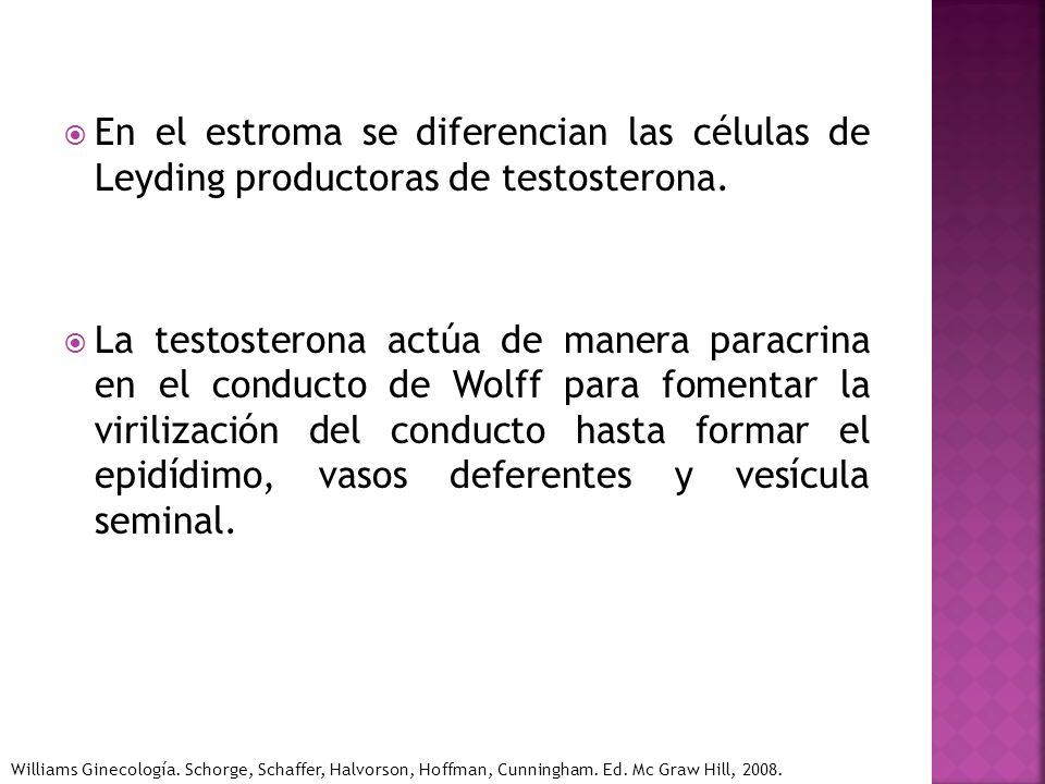 En el estroma se diferencian las células de Leyding productoras de testosterona. La testosterona actúa de manera paracrina en el conducto de Wolff par