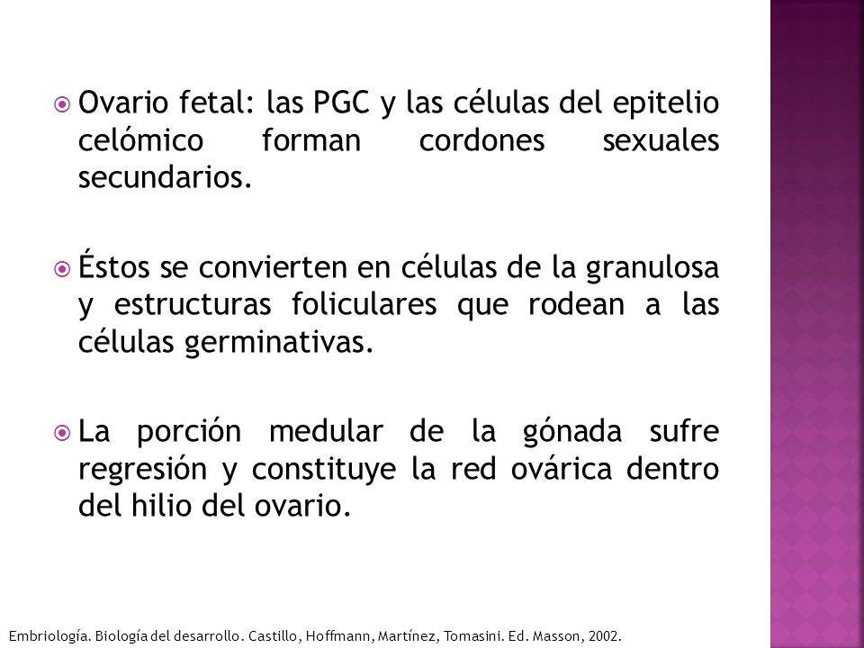 Ovario fetal: las PGC y las células del epitelio celómico forman cordones sexuales secundarios. Éstos se convierten en células de la granulosa y estru