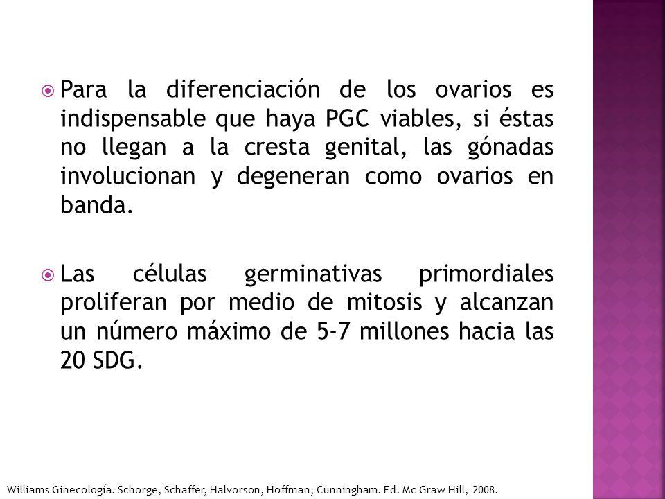 Para la diferenciación de los ovarios es indispensable que haya PGC viables, si éstas no llegan a la cresta genital, las gónadas involucionan y degene