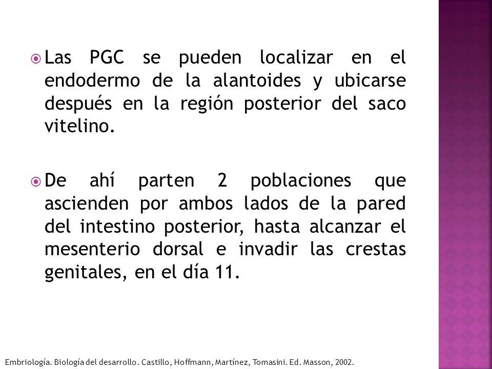 Las PGC se pueden localizar en el endodermo de la alantoides y ubicarse después en la región posterior del saco vitelino. De ahí parten 2 poblaciones