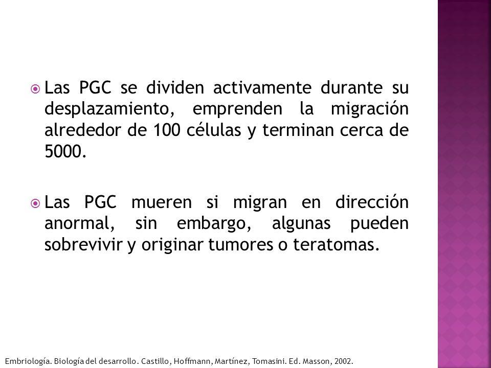 Las PGC se dividen activamente durante su desplazamiento, emprenden la migración alrededor de 100 células y terminan cerca de 5000. Las PGC mueren si