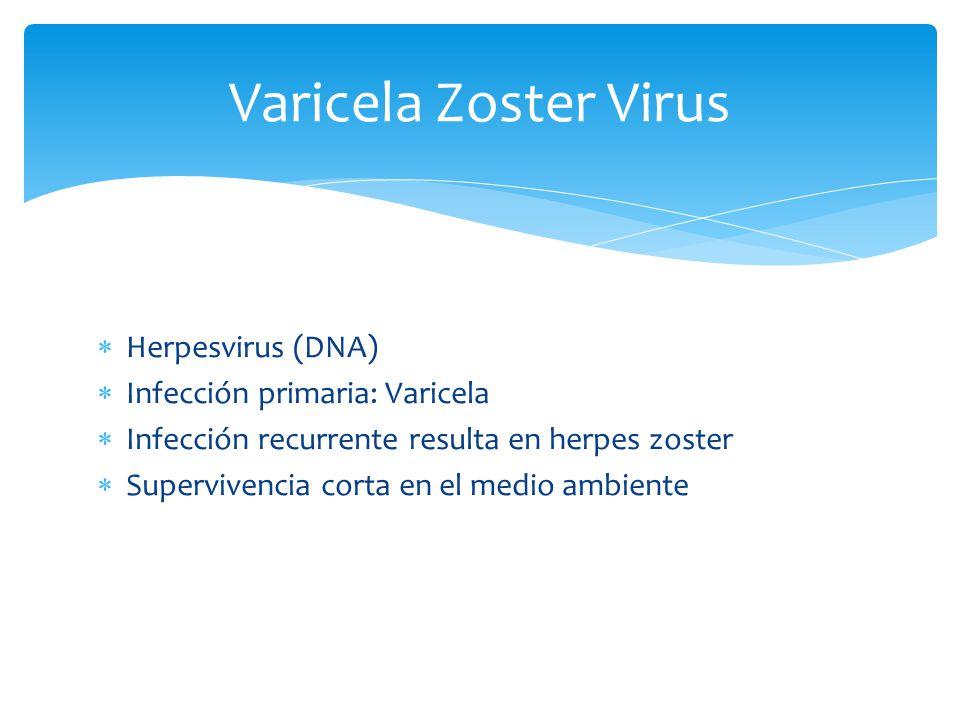 Varicela Zoster Virus Herpesvirus (DNA) Infección primaria: Varicela Infección recurrente resulta en herpes zoster Supervivencia corta en el medio amb