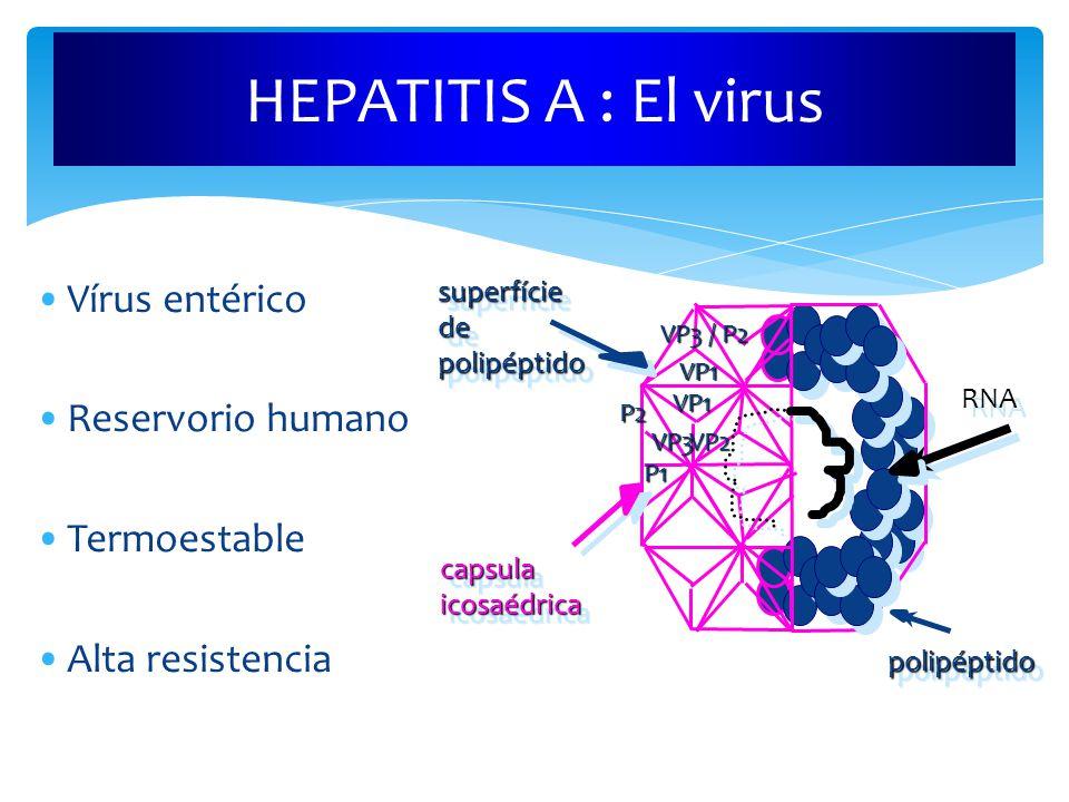 HEPATITIS A : El virus capsulaicosaédricacapsulaicosaédrica RNA polipéptidopolipéptido superfíciedepolipéptidosuperfíciedepolipéptido Vírus entérico Reservorio humano Termoestable Alta resistencia P1VP2VP3VP1 VP3 / P2 VP1 P2