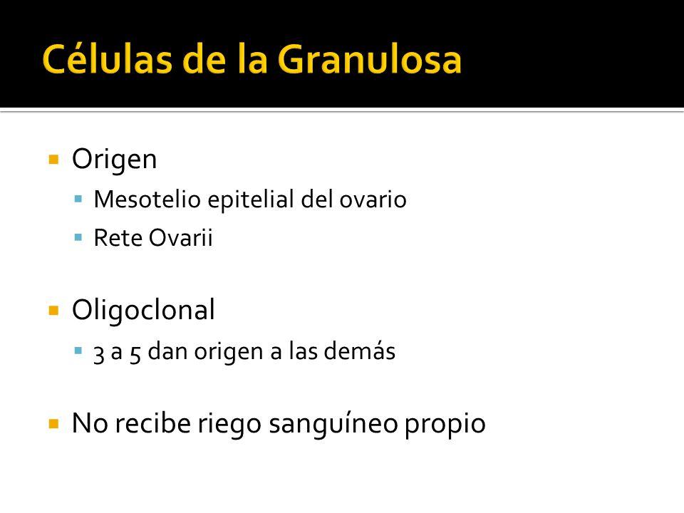 Origen Mesotelio epitelial del ovario Rete Ovarii Oligoclonal 3 a 5 dan origen a las demás No recibe riego sanguíneo propio