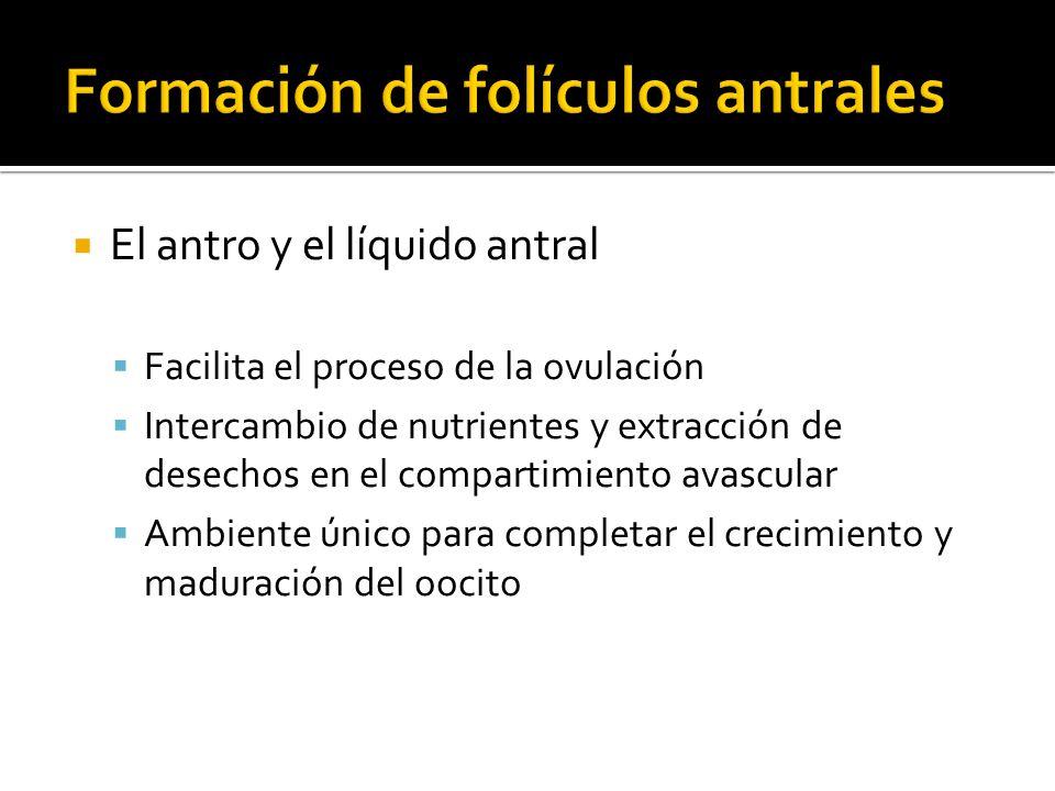 El antro y el líquido antral Facilita el proceso de la ovulación Intercambio de nutrientes y extracción de desechos en el compartimiento avascular Amb