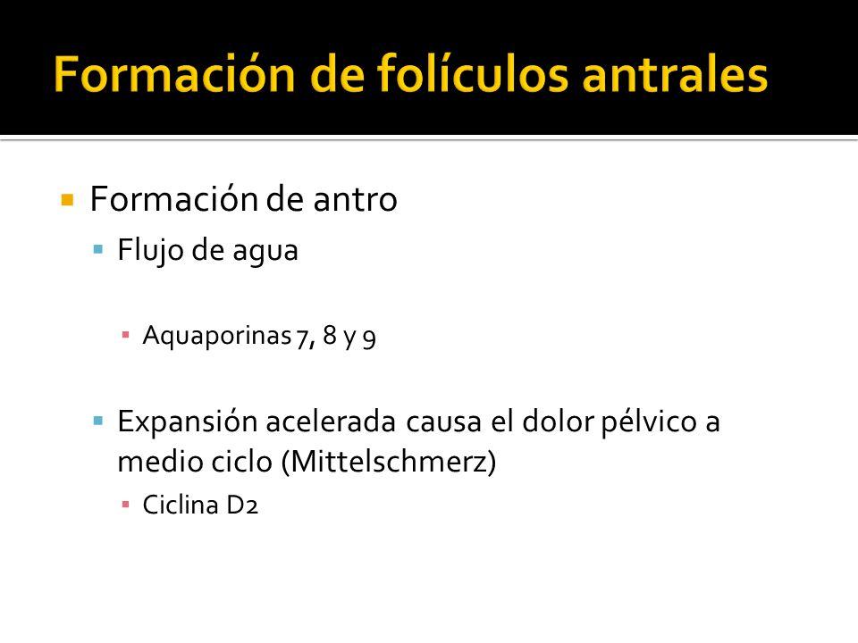 Formación de antro Flujo de agua Aquaporinas 7, 8 y 9 Expansión acelerada causa el dolor pélvico a medio ciclo (Mittelschmerz) Ciclina D2