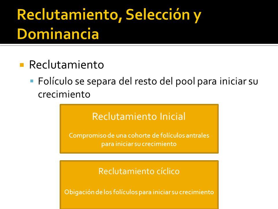Reclutamiento Folículo se separa del resto del pool para iniciar su crecimiento Reclutamiento Inicial Compromiso de una cohorte de folículos antrales