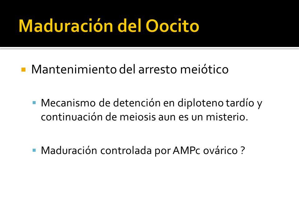 Mantenimiento del arresto meiótico Mecanismo de detención en diploteno tardío y continuación de meiosis aun es un misterio. Maduración controlada por