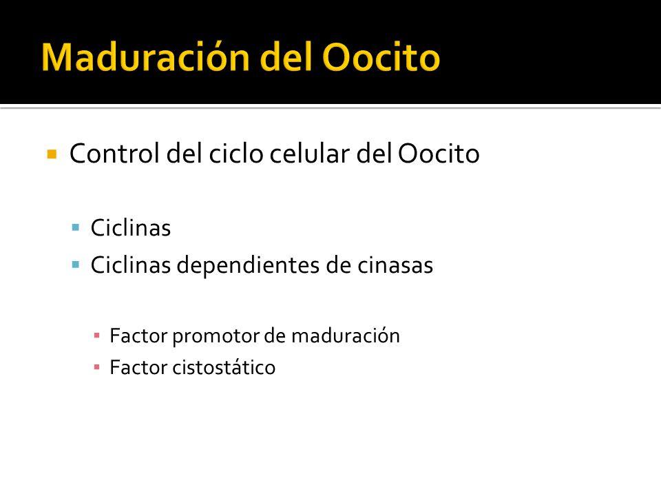 Control del ciclo celular del Oocito Ciclinas Ciclinas dependientes de cinasas Factor promotor de maduración Factor cistostático