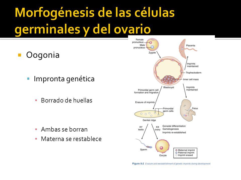 Crecimiento de estigma Ruptura de estigma expulsa al huevo y líquido folicular