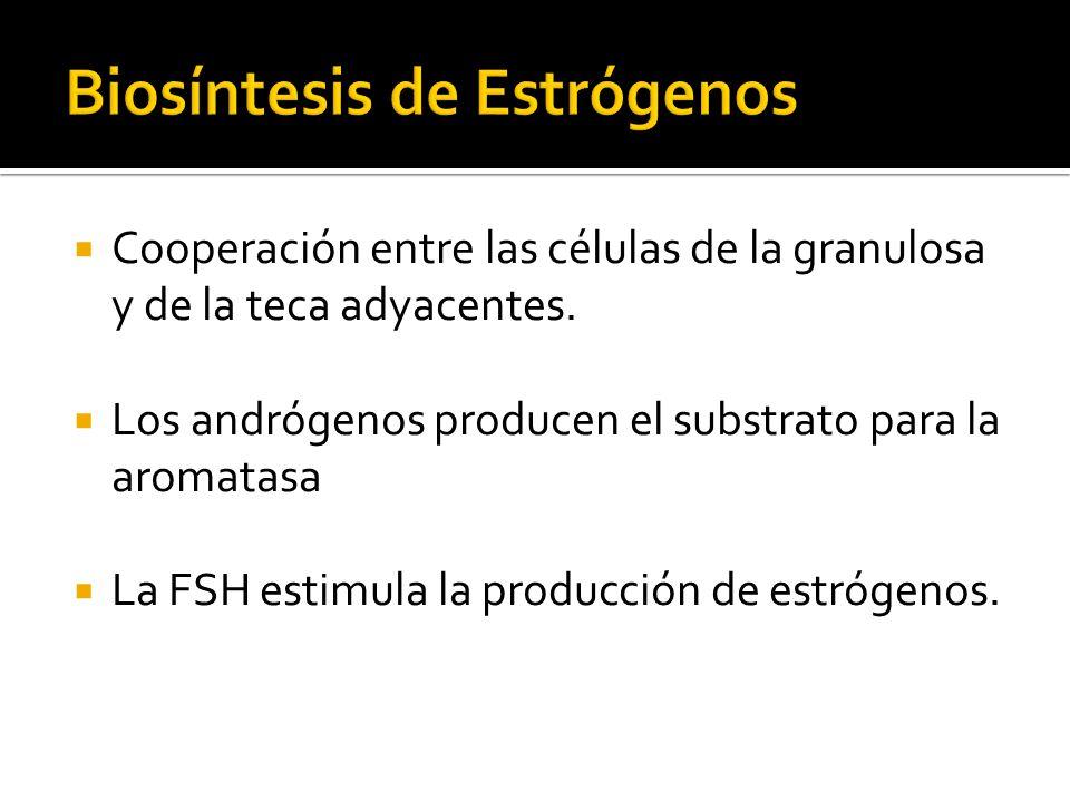 Cooperación entre las células de la granulosa y de la teca adyacentes. Los andrógenos producen el substrato para la aromatasa La FSH estimula la produ