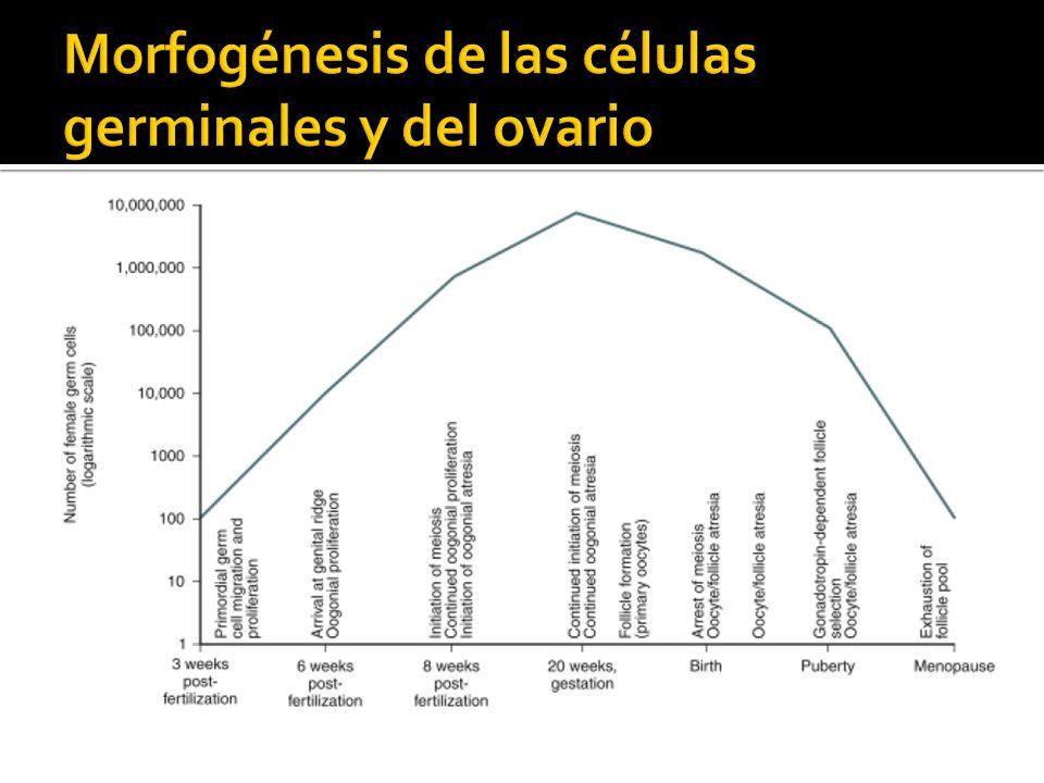 30-60 micras Oocito primario en diploteno tardío 9-25micras Capa simple plana granulosa No influenciados por gonadotropinas